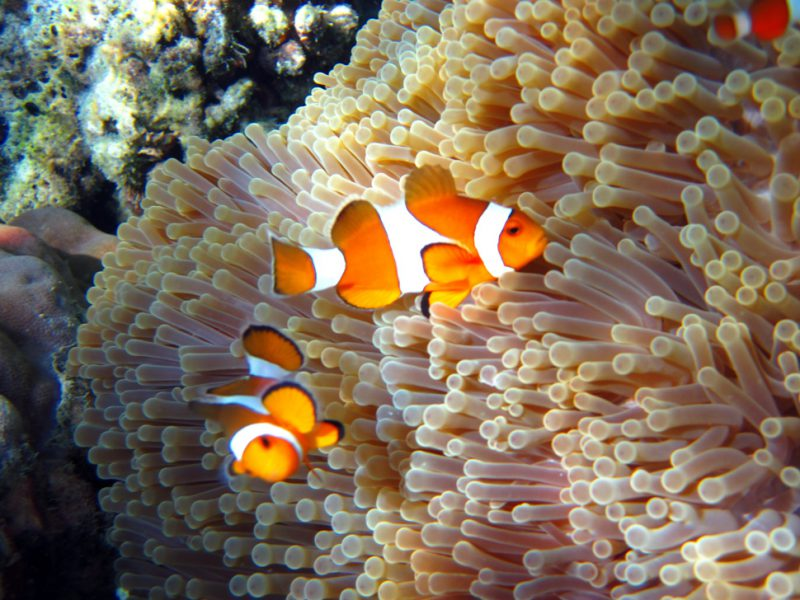 Snorkeling with two Anemone Clownfish