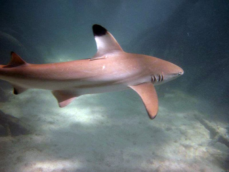 Blacktip Reef Shark at Surin Islands