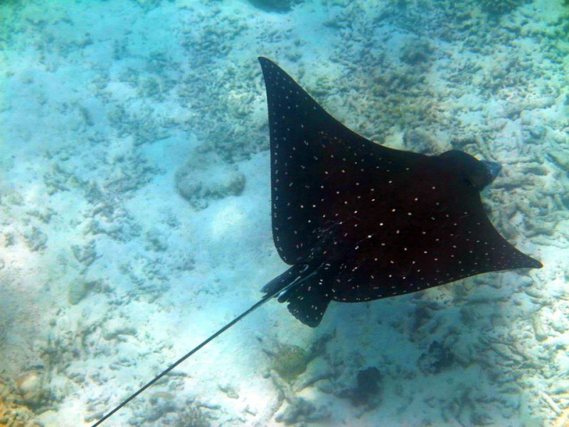 Eagle ray at the Surin Islands
