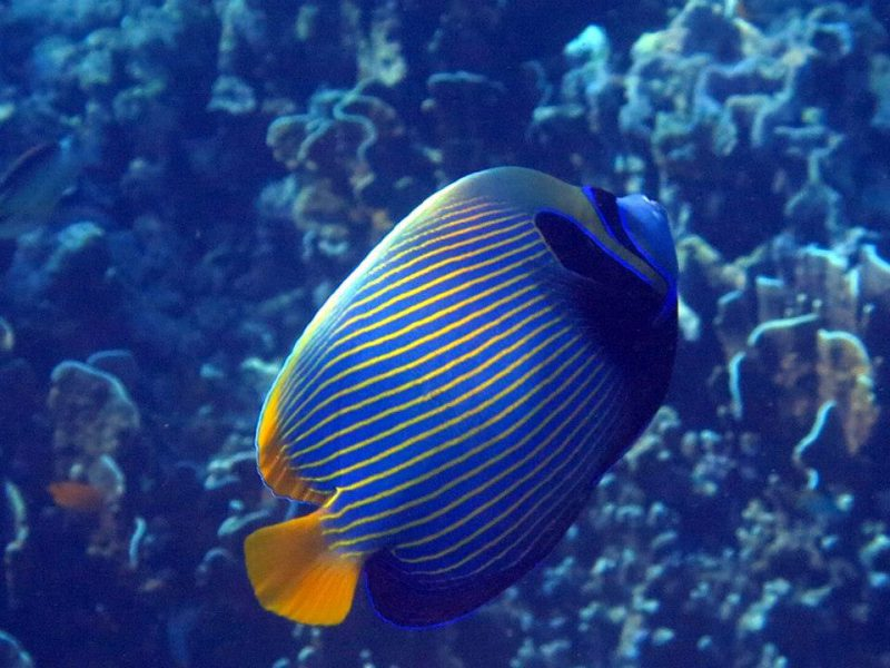 Snorkel with angelfish at Similan Islands