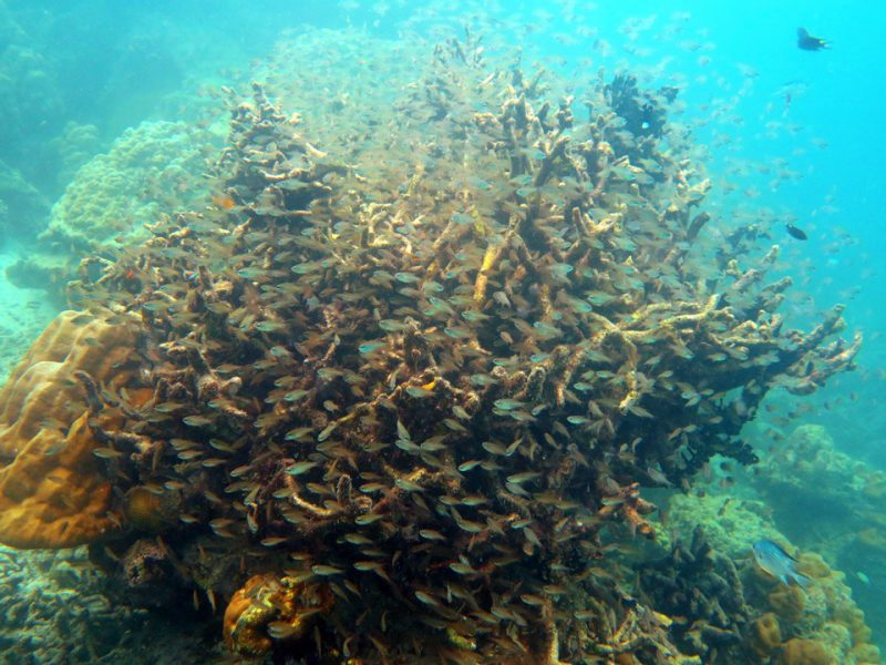 Fish use the corals for shelter and protection