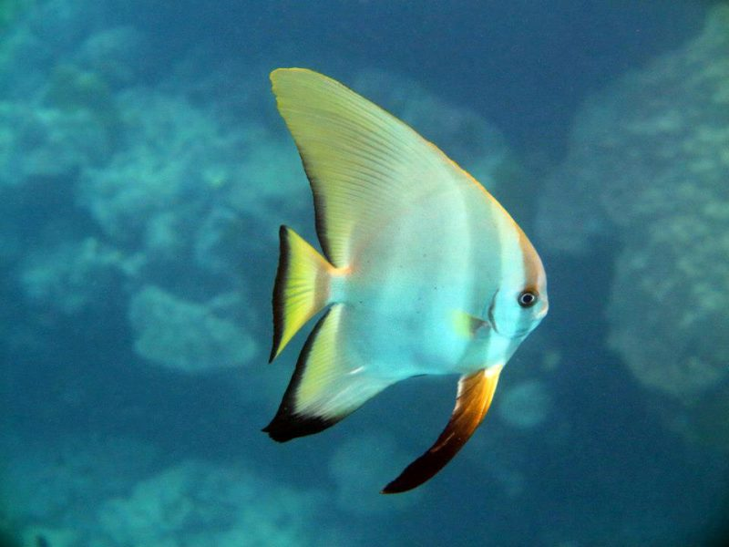 Batfish at the Surin Islands