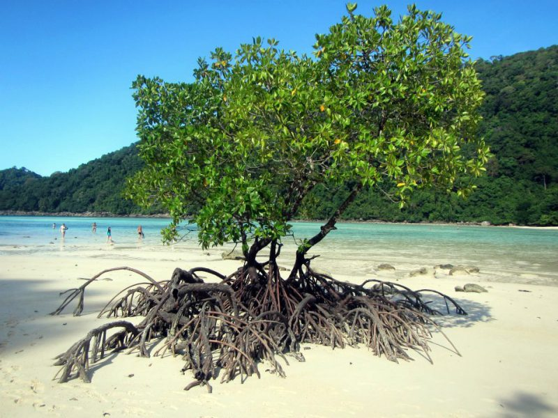 A mangrove tree at the Surin Islands