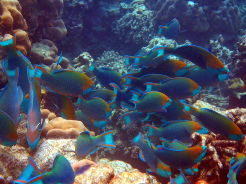plenty of colourful parrot fish in the Similan Islands