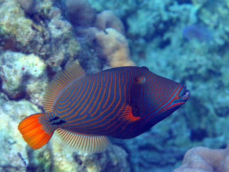 Colourful triggerfish