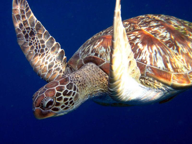Similan Islands Turtle