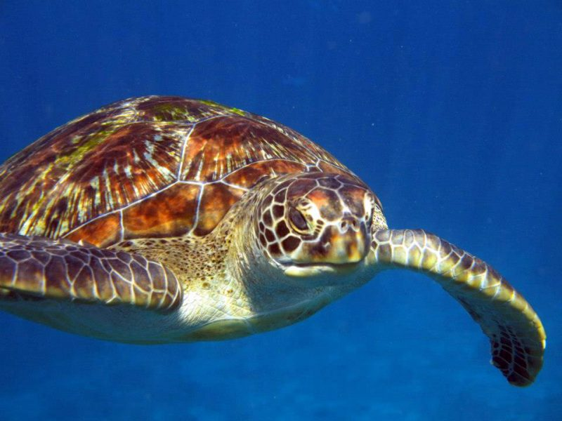 A curious turtle in the Similan Islands