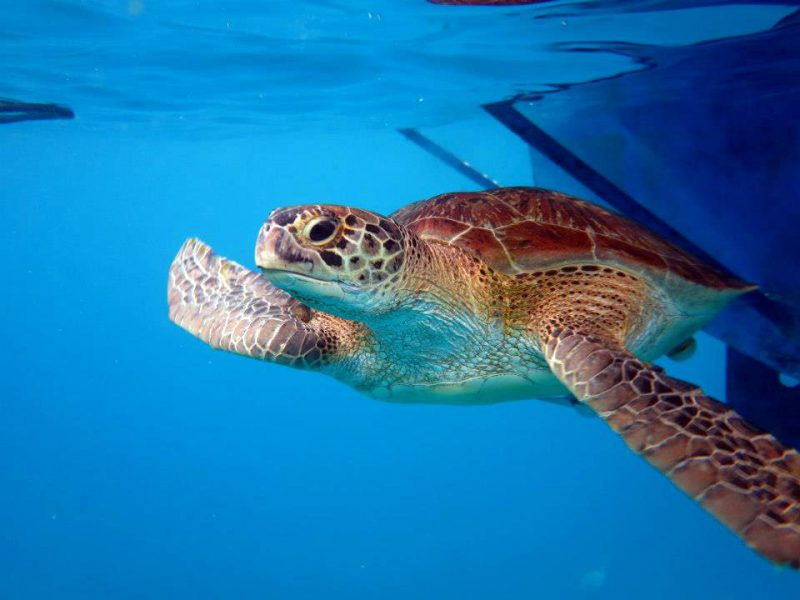 A turtle swims under our liveaboard