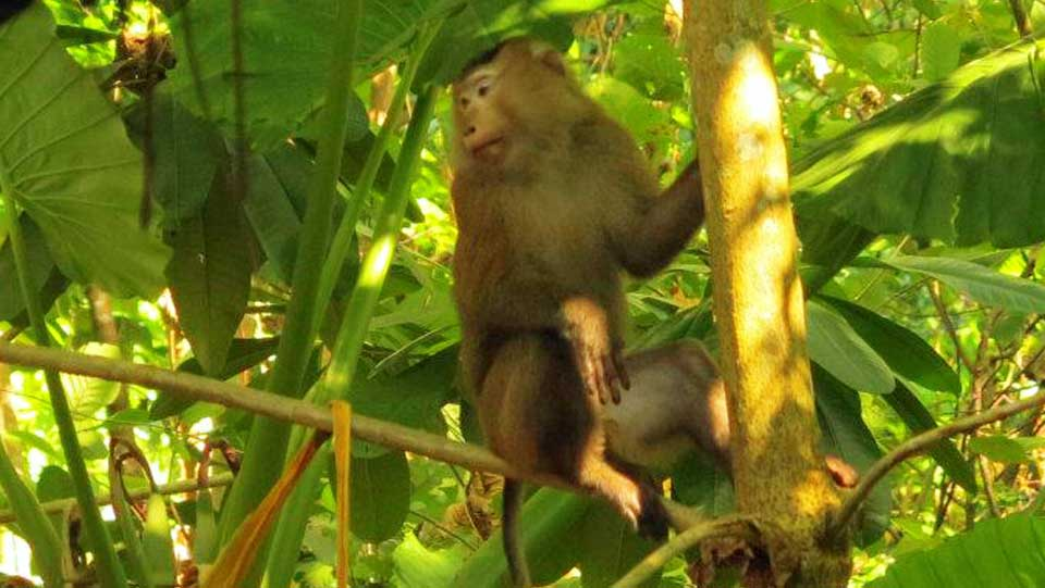 Monkey at the Surin Islands
