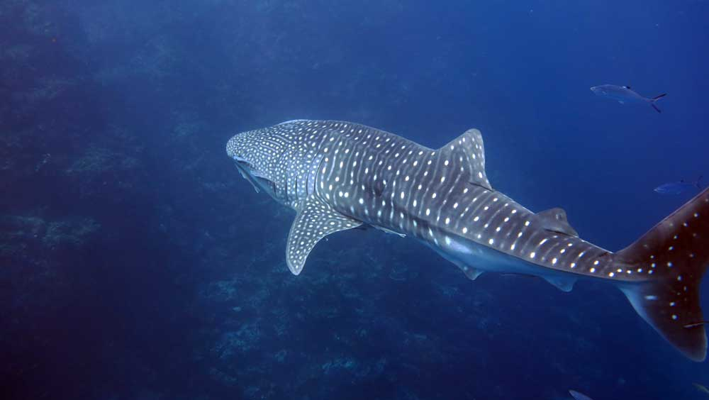 Snorkel with whale sharks at Koh Tachai