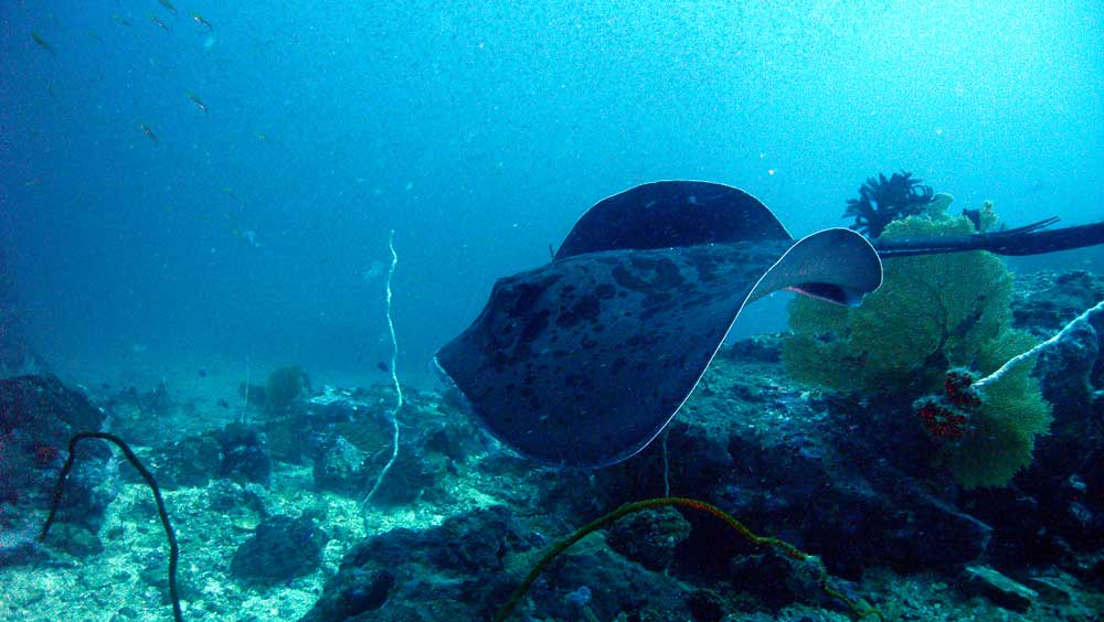 A large ray in Myanmar's Mergui Archipelago