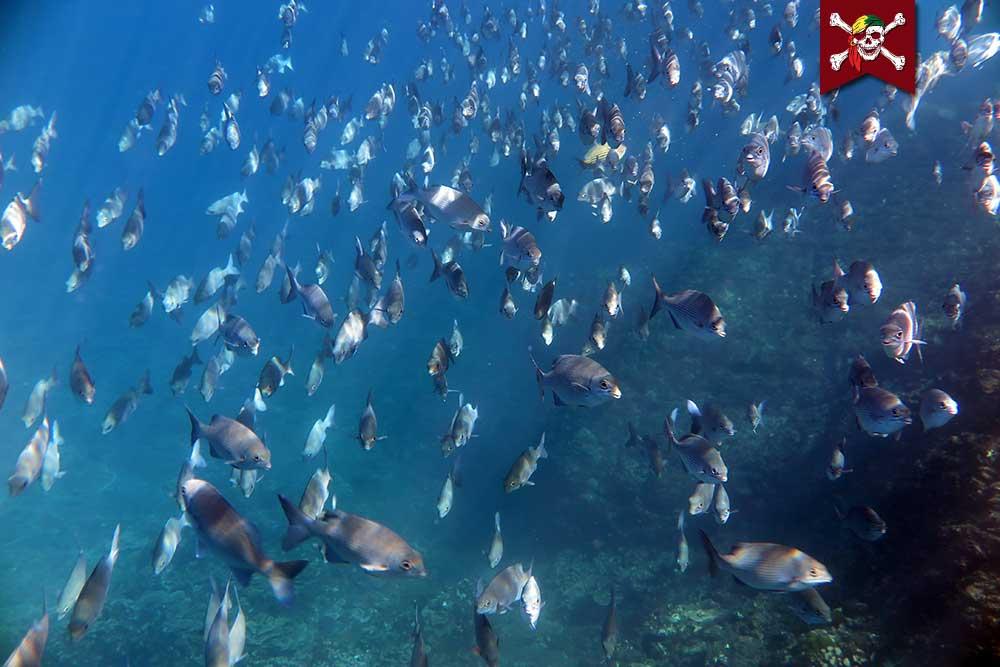 Rudderfish