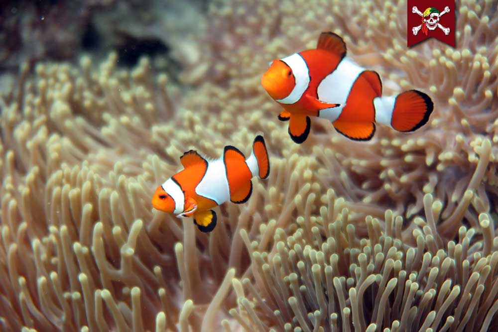 Two Clownfish clowning around