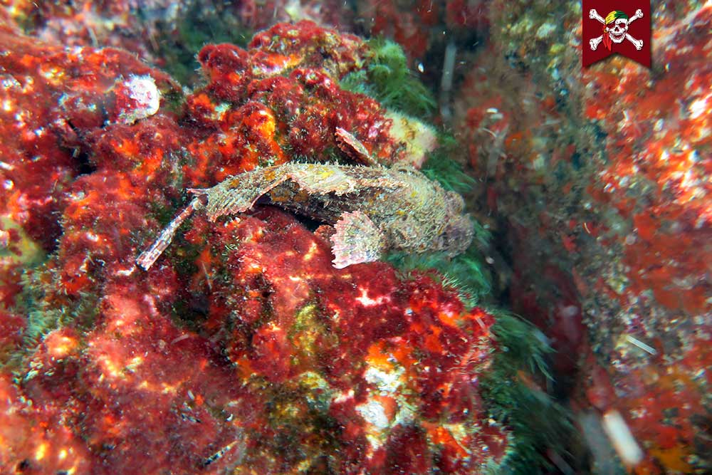 Bearded scorpion fish