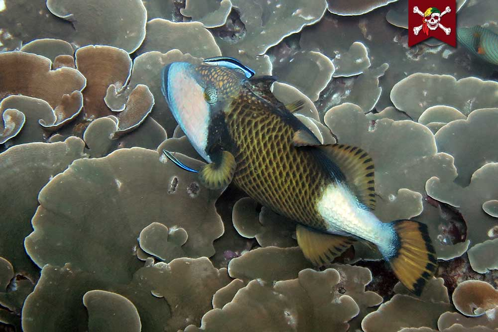Titan Triggerfish and Cleaner Wrasse