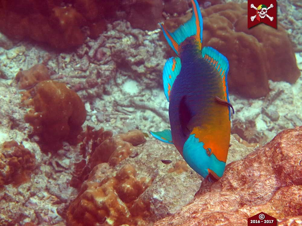 Parrotfish chomping on a rock