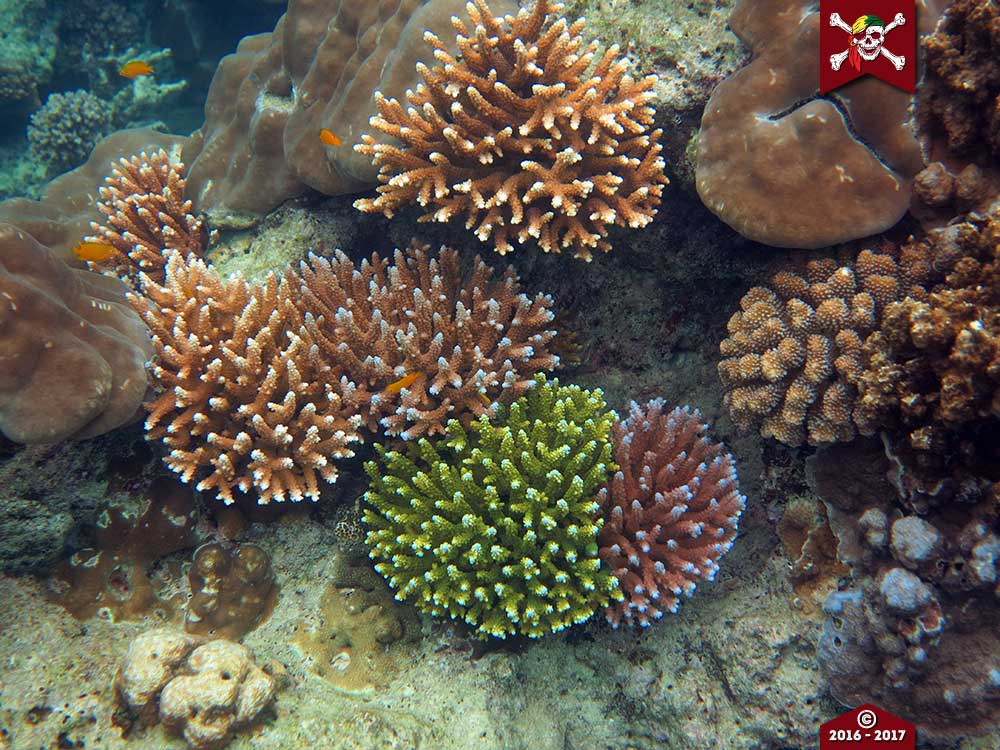 Corals come in all colours at the Surin Islands