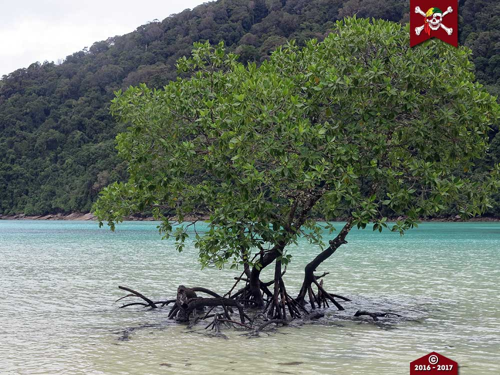 Mangrove tree at the Surin Islands