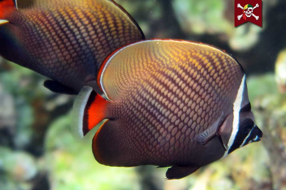 Redtail Butterfly Fish