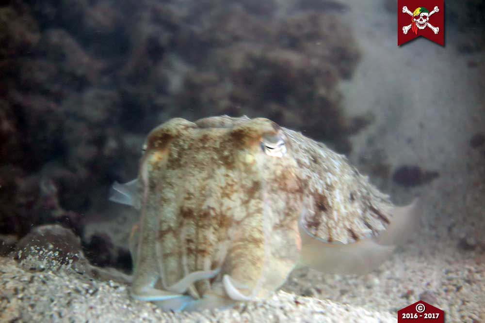 Up close to a cuttlefish