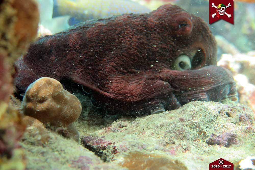 Big Red Octopus