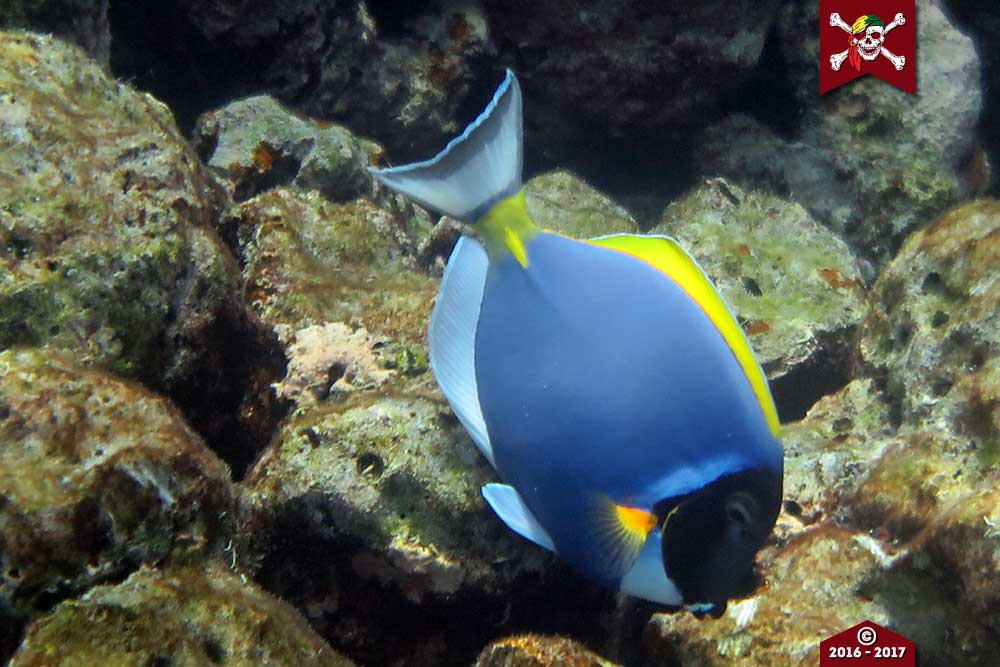 Powdered blue surgeon fish