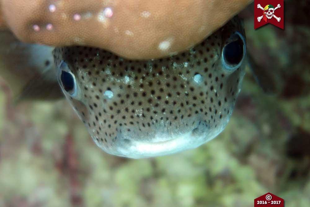 Porcupine puffer fish hiding under corals