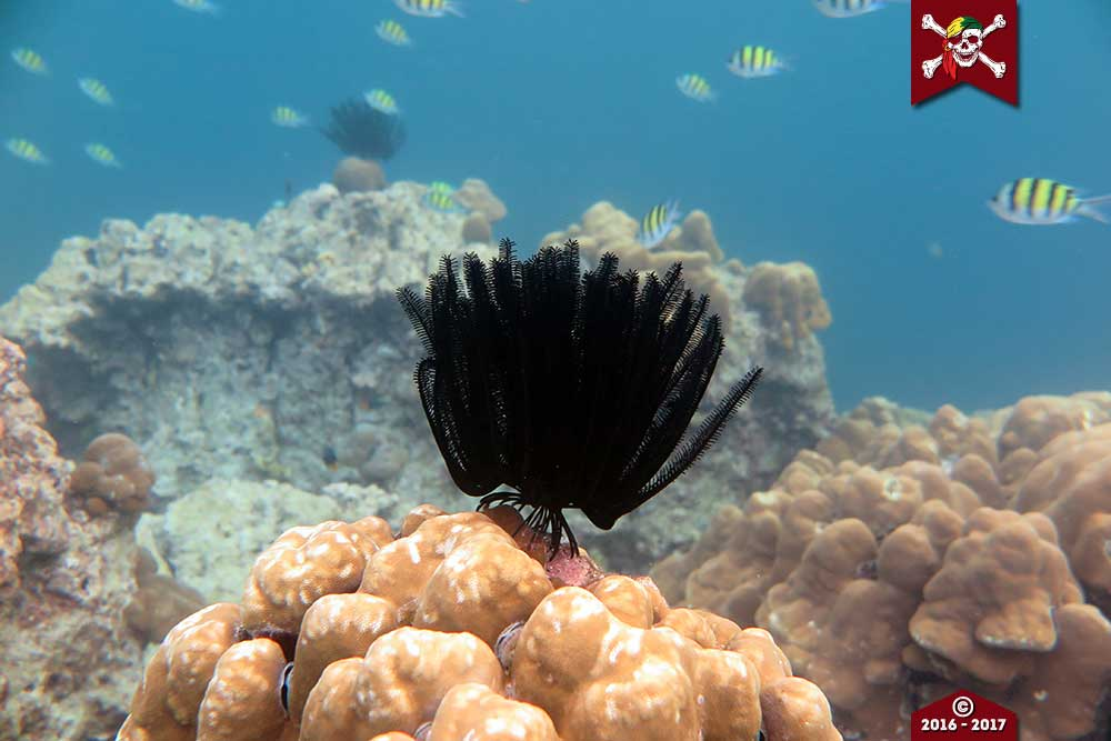 A black feather star