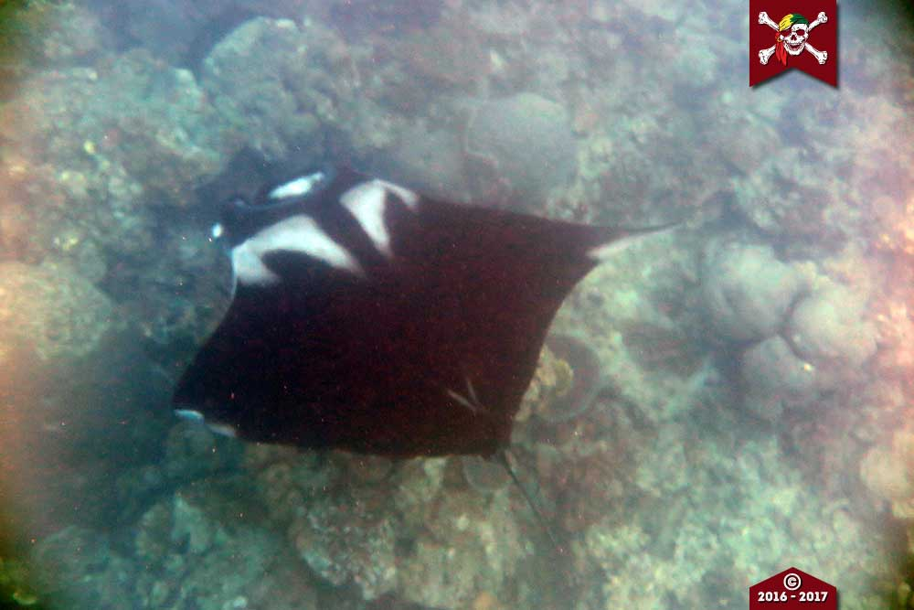 Manta ray close to the reef