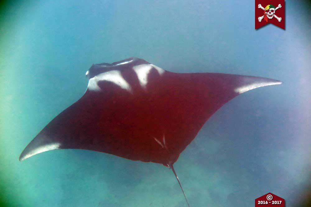top view of a Manta ray at Koh Bon