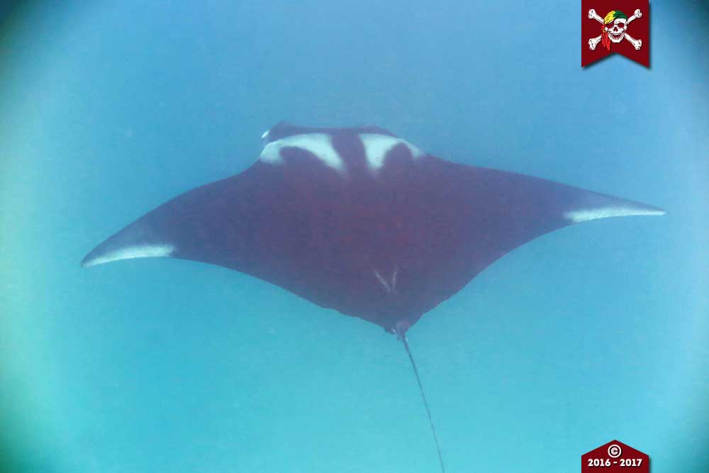 A giant manta ray spotted at Koh Bon