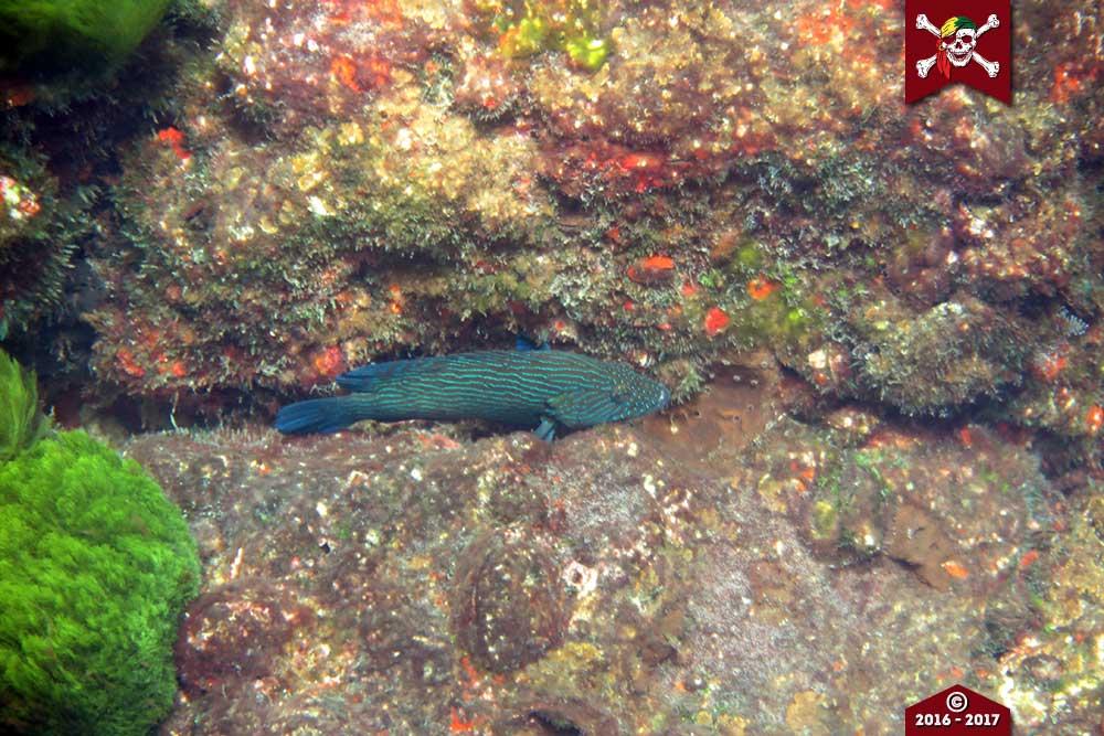 A grouper lays in ambush