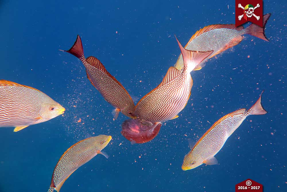 Rabbitfish eat a Jellyfish