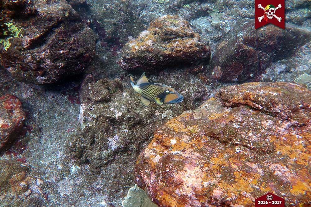 Titan Triggerfish at Koh Bon