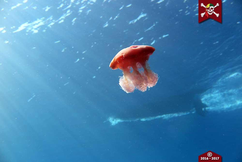 Jellyfish at Koh Bon