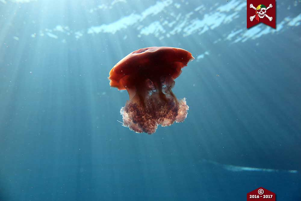 A jellyfish at Koh Bon