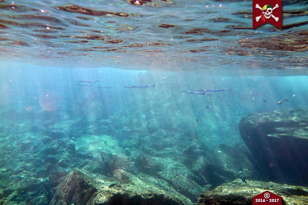 Needle fish lurk beneath the surface