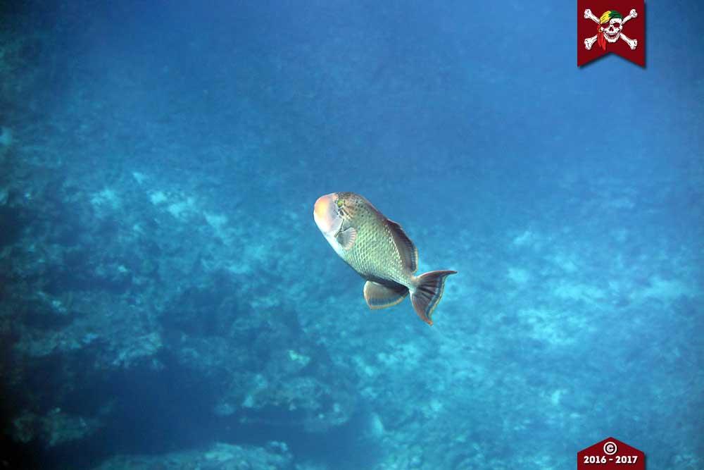 Yellow margined triggerfish