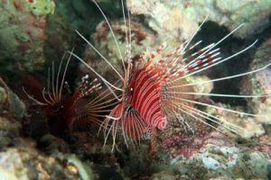 The nocturnal lion fish